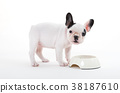 French puppy bulldog eating, isolated 38187610