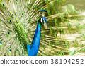 孔雀 藍孔雀 鳥兒 38194252