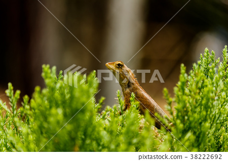 Closeup chameleon or tree lizard on the fence 38222692