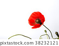 Poppy flower on white background 38232121