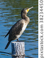 great, cormorant, bird 38234450