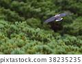 星鸦 野生鸟类 野鸟 38235235