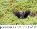 星鸦 野生鸟类 野鸟 38235239