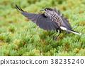 星鸦 野生鸟类 野鸟 38235240