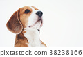 funny beagle dog outdoor funny portrait in winter 38238166