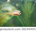 freshwater fish, killifish, fish 38240493