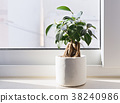 Potted Ficus Bonsai plant 38240986