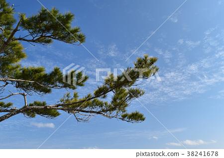 소나무 가지 38241678