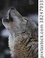 嚎叫的狼 38247933