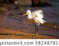 White heron 38248782