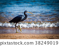 Black heron 38249019