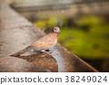 Pigeon 38249024