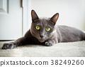 Russian blue cat 38249260