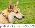 Dog Corgi red color close-up muzzle 38249720