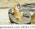 사자, 라이언, 백수의 왕 38261170