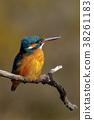 common, kingfisher, wild 38261183