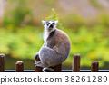 lemur, animal, monkey 38261289