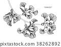 Ginkgo leaf drawing illustration.  38262892