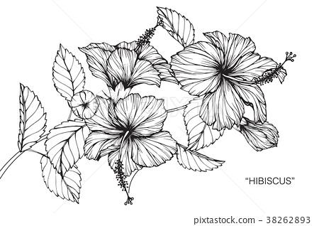Hibiscus Flower Drawing Illustration Stock Illustration 38262893