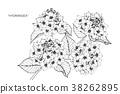 Hydrangea flower drawing illustration. 38262895