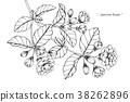 jasmine flower drawing illustration. 38262896