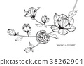 Magnolia flower drawing illustration.  38262904