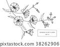 Morning glory flower drawing illustration.  38262906