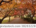 Acer palmatum 38263228