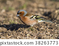 Common, chaffinch, beak 38263773