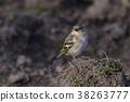 Common, chaffinch, beak 38263777