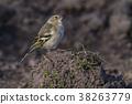 Common, chaffinch, beak 38263779