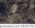 Common, chaffinch, beak 38263780