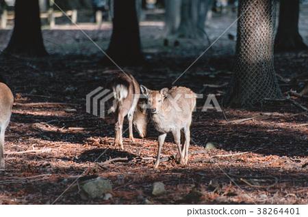 나라, 사슴, 동물, 나라 사슴, 나라, 사슴, 동물 38264401