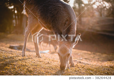 奈良,鹿,動物,奈良鹿,Nara, deer, animal 38264428