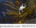 Rockhopper Penguins coming ashore 38265033