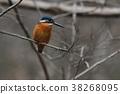 kingfisher, wild, bird 38268095