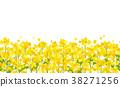 유채 꽃밭 (흰색 배경) <원활> 38271256