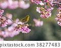 cherry blossom, cherry tree, sclera 38277483