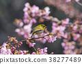 cherry blossom, cherry tree, sclera 38277489