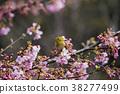 동박새와 벚꽃 38277499