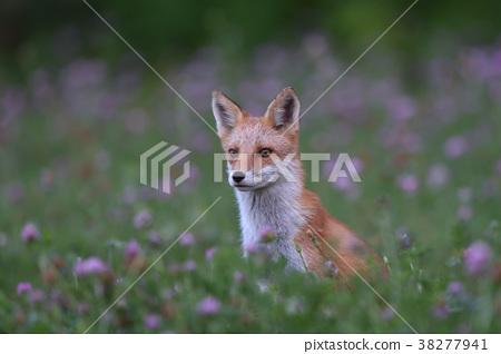 虾夷红狐狸 狐狸 野生动物 38277941