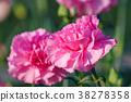 카네이션, 꽃, 플라워 38278358