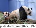 팬더, 판다, 자이언트 팬더 38278397
