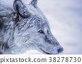 wolf, wolves, snowy 38278730