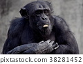 chimp, chimpanzee, animal 38281452