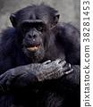 히가시야마 동물원의 침팬지 38281453