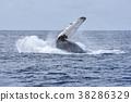 赏鲸 鲸鱼 座头鲸 38286329