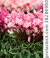 盛開 花 開花 38286960