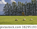 ovine, sheep, hill 38295193