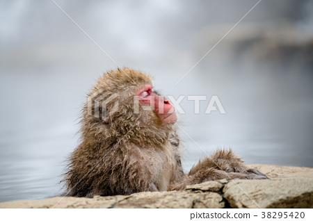 长野地狱谷温泉雪猴 38295420